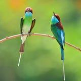 Pájaro throated azul del comedor de abeja Fotos de archivo libres de regalías