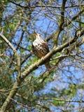 Pájaro (tordo mayor) en árbol Fotos de archivo libres de regalías