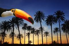Pájaro toucan de Toco en cielo tropical de la puesta del sol de la palmera Foto de archivo