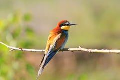 Pájaro tropical del paraíso que se sienta en una rama Imagen de archivo