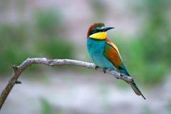 Pájaro tropical exótico Fotografía de archivo libre de regalías