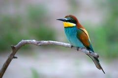 Pájaro tropical exótico Fotografía de archivo