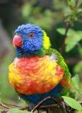 Pájaro tropical, plumas coloreadas coloridas, brillantes felices Imagen de archivo