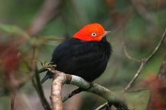 Pájaro tropical rojo y negro de Belice Imágenes de archivo libres de regalías