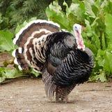 Pájaro Turquía Fotografía de archivo