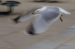 Pájaro urbano en vuelo Imágenes de archivo libres de regalías