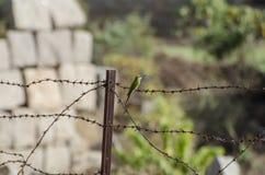 Pájaro verde claro en el barbwire Imagenes de archivo