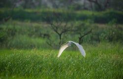 Pájaro verde de la garceta en vuelo Imagenes de archivo