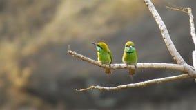 Pájaro verde del abeja-comedor dos en la rama del árbol Imagen de archivo libre de regalías