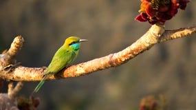 Pájaro verde del abeja-comedor en rama del árbol sagrado Imagenes de archivo