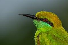 Pájaro verde del comedor de abeja Fotos de archivo