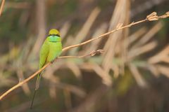 Pájaro verde del comedor de abeja Imágenes de archivo libres de regalías