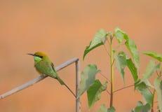 Pájaro verde del comedor de abeja Imagen de archivo