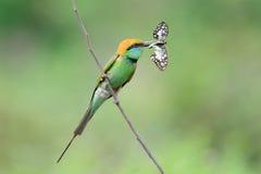 Pájaro verde del comedor de abeja Foto de archivo libre de regalías