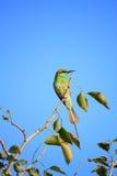 Pájaro verde del comedor de abeja con el cielo azul en Nueva Deli, la India Fotografía de archivo libre de regalías