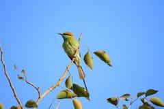 Pájaro verde del comedor de abeja en Nueva Deli, la India Imagen de archivo libre de regalías