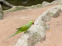 Pájaro verde del loro Imagenes de archivo