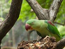 Pájaro verde del loro que come granos Foto de archivo libre de regalías