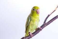 Pájaro verde en colores pastel de Forpus Imágenes de archivo libres de regalías