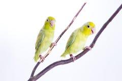 Pájaro verde en colores pastel de Forpus Imagen de archivo