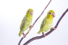Pájaro verde en colores pastel de Forpus Fotos de archivo