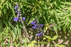Pájaro vibrante y colorido de Homming que come el néctar Fotos de archivo