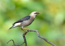 Pájaro (vinoso - estornino breasted), Tailandia Fotos de archivo