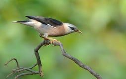 Pájaro (vinoso - estornino breasted), Tailandia Fotografía de archivo libre de regalías