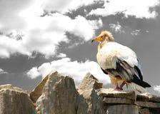 Pájaro Vulturine en la roca Conceptos de libertad y de fuerza Foto de archivo