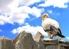 Pájaro Vulturine en la roca Conceptos de libertad y de fuerza Imagenes de archivo