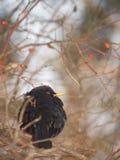 Pájaro y escaramujos negros imagen de archivo