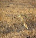 Pájaro y hábitat de la garza de la charca de Brown fotografía de archivo