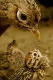 Pájaro y polluelo Imagen de archivo libre de regalías