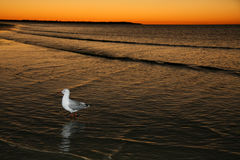 Pájaro y puesta del sol - isla de Fraser, la UNESCO, Australia Fotos de archivo