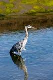 Pájaro y reflexión que se colocan en las aguas inmóviles del saladar Fotos de archivo libres de regalías
