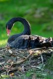 (Pájaro zwan negro del atratus del Cygnus) que se sienta en la jerarquía Foto de archivo