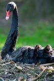 (Pájaro zwan negro del atratus del Cygnus) que se sienta en la jerarquía Imagen de archivo libre de regalías