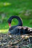 (Pájaro zwan negro del atratus del Cygnus) que se sienta en la jerarquía Fotos de archivo