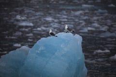 Pájaros árticos lindos que descansan sobre un pequeño iceberg svalbard Imagen de archivo libre de regalías
