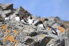 Pájaros árticos (pequeño auk) Imágenes de archivo libres de regalías