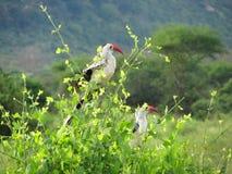 Pájaros africanos Fotografía de archivo