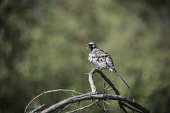 Pájaros africanos meridionales Fotos de archivo libres de regalías