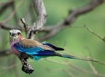 Pájaros africanos: Rodillo de Lilacbreasted Fotos de archivo