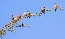 Pájaros africanos salvajes Fotografía de archivo