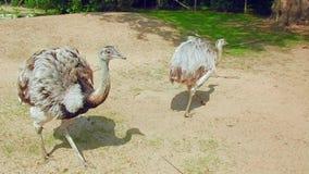 Pájaros, avestruces en el parque zoológico, avestruces curiosas almacen de metraje de vídeo