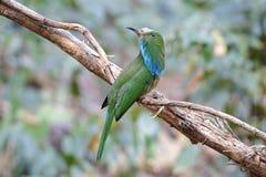 pájaros Azul-barbudos del athertoni de Nyctyornis del Abeja-comedor de Tailandia Imagen de archivo