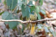 pájaros Azul-barbudos del athertoni de Nyctyornis del Abeja-comedor de Tailandia Foto de archivo