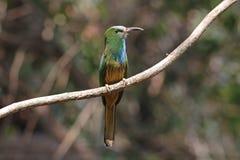 pájaros Azul-barbudos del athertoni de Nyctyornis del Abeja-comedor de Tailandia Imagenes de archivo