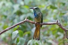 pájaros Azul-barbudos del athertoni de Nyctyornis del Abeja-comedor después de bañar Foto de archivo libre de regalías