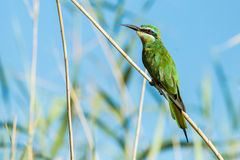 Pájaros azules de Suráfrica del comedor de abeja de Cheeked Fotos de archivo libres de regalías